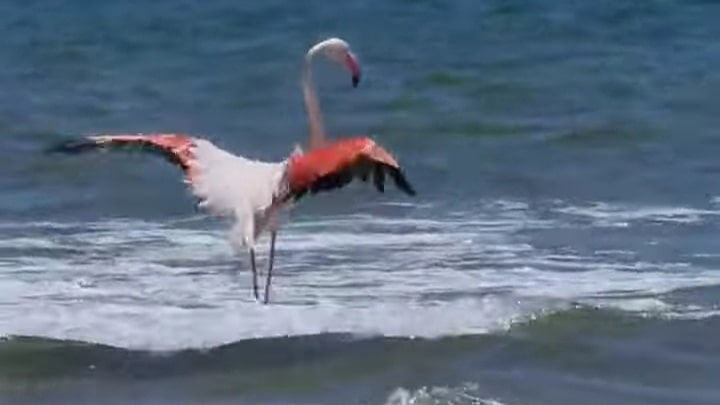 Flamenco en la playa de Punta Umbría